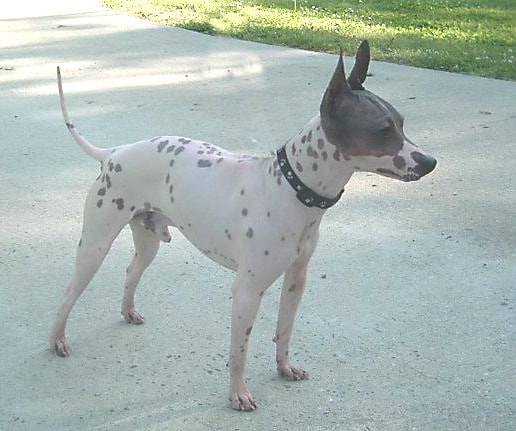 American Hairless Terrier | Travel With Doggie