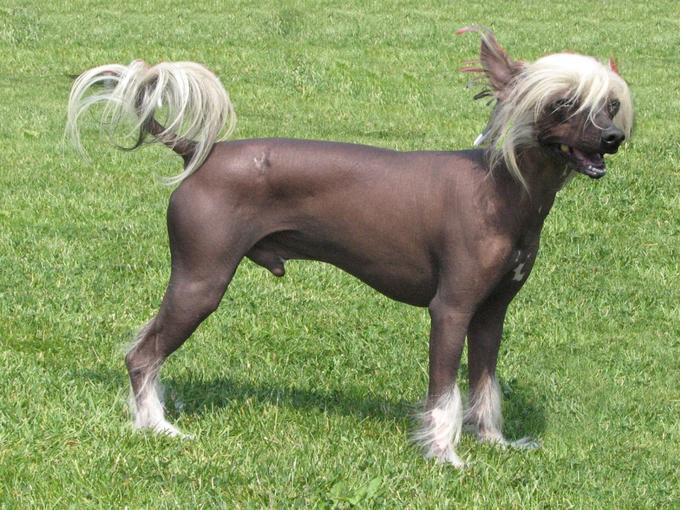 Chinese Crested Dog | Travel With Doggie