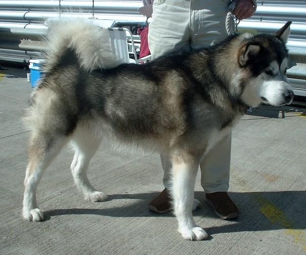 Alaskan Malamute | Travel With Doggie