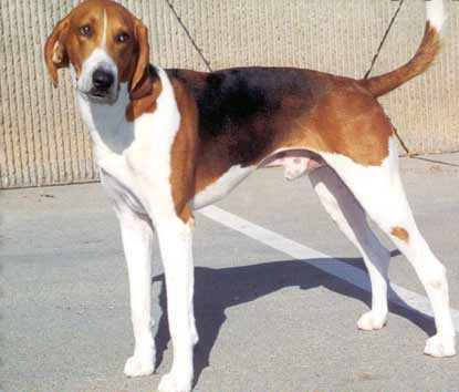 American Foxhound | Travel With Doggie