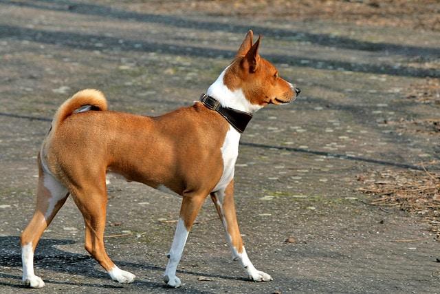 Basenji | Travel With Doggie