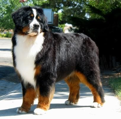 Bernese Mountain Dog | Travel With Doggie