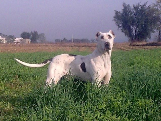 Bully Kutta | Travel With Doggie