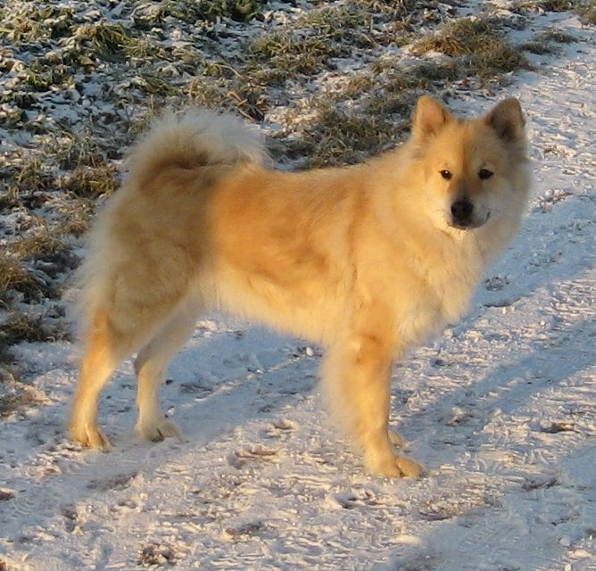 Eurasier | Travel With Doggie