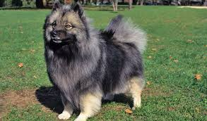Keeshond | Travel With Doggie