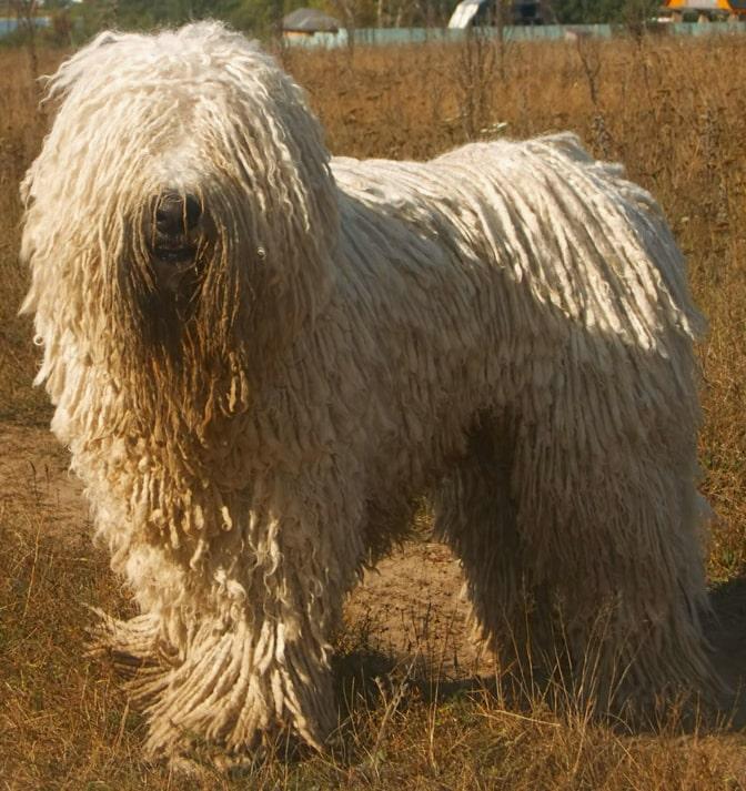 Komondor | Travel With Doggie