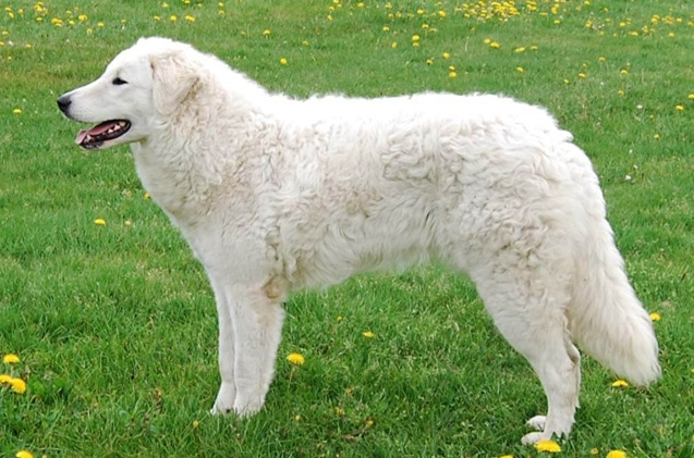 Kuvasz | Travel With Doggie