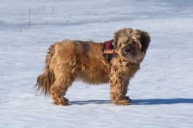 Tibetian Terrier | Travel With Doggie