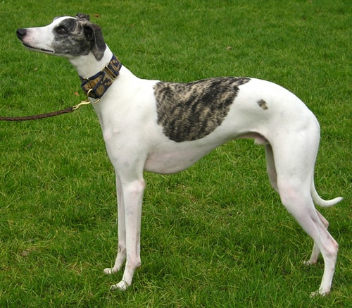 Whippet | Travel With Doggie