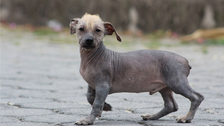Ecuadorian Hairless Dog | Travel with Doggie