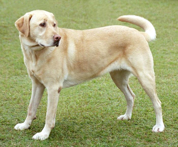 Labrador Retriever | Travel With Doggie